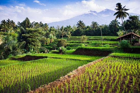 Indonezja, wyspa Lombok, pola ryżowe