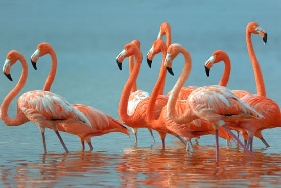 Meksyk półwysep Jukatan, różowe flamingi