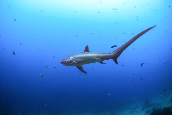 Filipiny, Malapascua, rekiny kosogony
