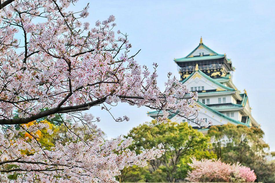 japonia-sakura