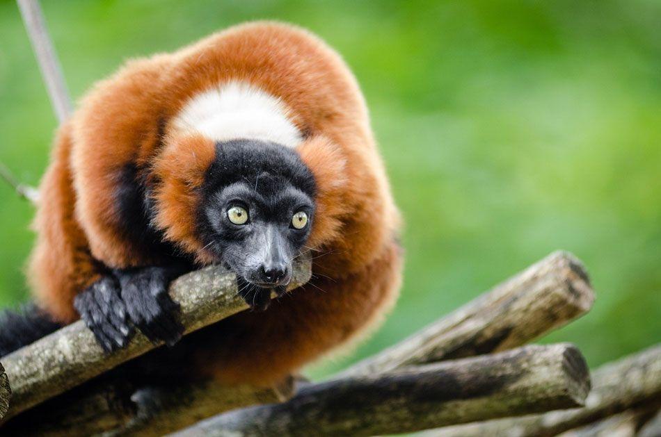 madagaskar-lemur