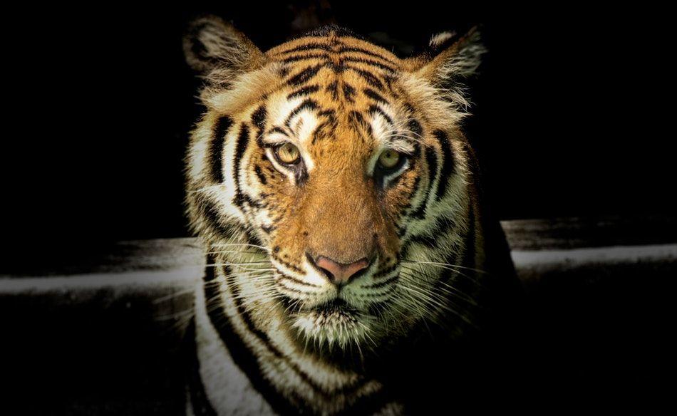 świątynia tygrysów