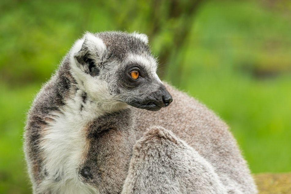 lemury na Madagaskarze