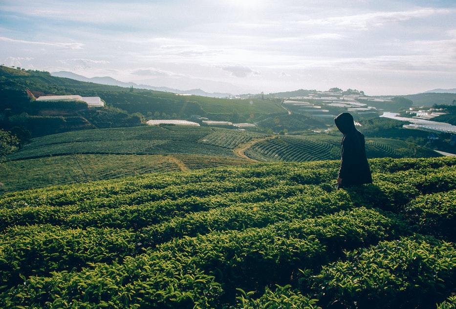 plantacja herbaty
